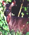 Sambar deer along the Raleigh Trail